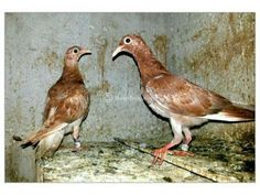 Red madrasi homer pigeon for sale Dumdum - Dog Buy & Sale Pigeons For Sale, Bird, Dogs, Animals, Painting, Animales, Animaux, Birds, Pet Dogs