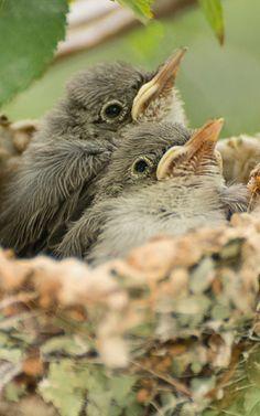 Chicks ~ Waiting For Mom's Return...