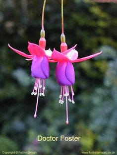 85ce47034 106 Best Fuchsia images in 2019 | Chinese art, Flowers, Asian paints