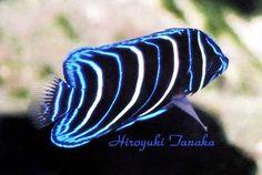 ear-spot angelfish (Pomacanthus chrysurus), juvenile, east coast of Africa. Photo: Hiroyuki Tanaka
