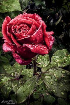 Rózsa = szerelem