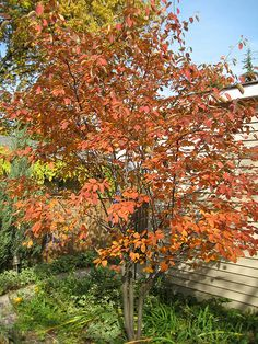 Serviceberry 'Autumn Brilliance' - afternoon | Flickr - Photo Sharing!