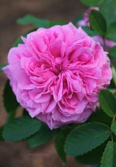 Caldwell Pink - Antique Rose