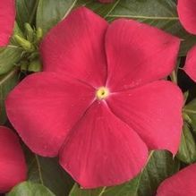 Catharanthus roseus 'Cooler Red'