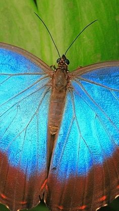 Blue Butterfly ... with the book BUTTERFLY HABITS also you'll shine on in your love relationship. Get the 3 love basics most women miss at http://butterflyhabits.com