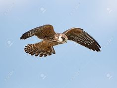 This image was just sold @123rf: Red footed falcon in flight http://www.123rf.com/photo_44856880_red-footed-falcon-in-flight-with-blue-skies-in-the-background.html