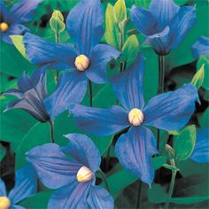 A large-flowered blue Clematis that blooms all summer.