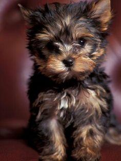 Yorkie puppy.
