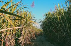 Se promener au milieu des champs de canne à sucre en fleur.. #lareunion #team974  Hanging out in the middle of sugar canes  . . . . . . . #tastereunion #iledelareunion #reunionisland #nature #naturelover #naturephotography #bluesky #sweet #sugar #igerslareunion #igersfrance #france #winter #explorer #exploring #travelblog #traveldeeper #likealocal #locallife #goodvibes #islandlife #traveltheworld #paradise #islandvibes #hiking