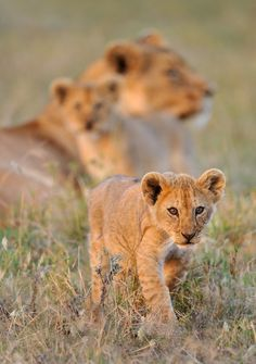 Lions near and far