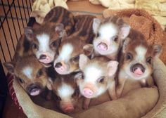 The cutest piglets ever..