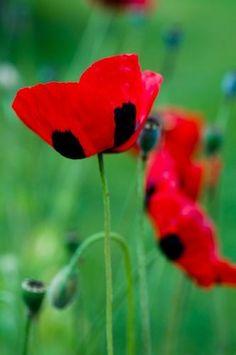 ~~Ladybird poppy (Papaver commutatum 'Ladybird') by Georgianna Lane~~ #cuudulieutransang | cuu du lieu tran sang | cứu dữ liệu trần sang | cong ty cuu du lieu tran sang | công ty cứu dữ liệu trần sang | http://cuudulieutransang.wix.com/trangchu