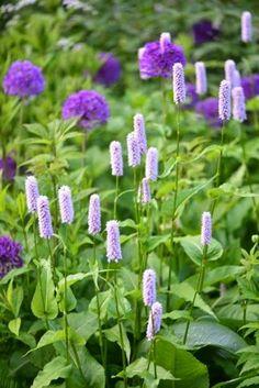 Den tidlige pileurt, Persicaria bistorta, blomstrer sammen m Flowers Nature, Beautiful Flowers, Flower Bed Designs, Blue And Purple Flowers, Garden Guide, Garden Ideas, Purple Garden, Drought Tolerant Plants, Edible Garden