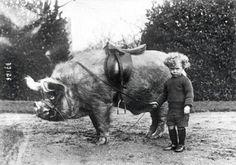 В 1930-м пони были для девочек и слабаков. А все настоящие мужчины катались исключительно на кабанах.