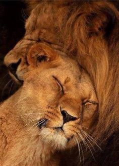 Quotes Queen Lioness 57 Ideas For 2019 Beautiful Creatures, Animals Beautiful, Animals And Pets, Cute Animals, Lion Couple, Gato Grande, Lion And Lioness, Lion Love, Beautiful Lion