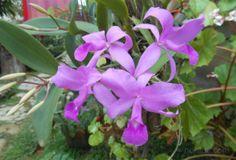 Fotos de las flores de la orquídea Cattleya Rosa y sus bulbos