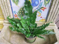 Nombre común:  Pteris cocodrilo - Helecho Cocodrilo     El género prese nta numerosas varie dades que son de apariencia muy variable. Esta b...