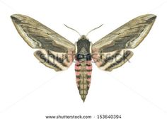 Butterfly Sphinx ligustri (female) on a white background - stock photo