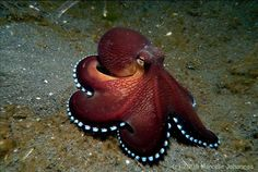 Dive at Lembeh Strait Underwater Sea, Underwater Creatures, Octopus Eyes, Coconut Octopus, Animals And Pets, Cute Animals, Weird Fish, Tattoo Themes, Marine Fish