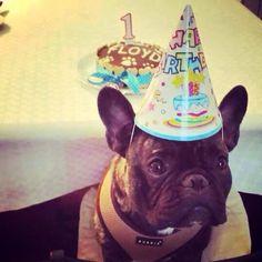 Floyd <3 #pupcake #dogbakery #petbakery #boloparacão #barkday #pawty #frenchie #frenchbulldog www.ninamaria.pt