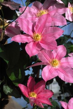 Clematis 'Abilene'  A delightful pink flower with contrasting yellow anthers. As clematis Abilene's flowers mature and fade, a central deep pink stripe becomes more prominent.  Blooms: Early to late summer Height: 3-4 ft tall Pruning: (Group 2) In the early spring (February or March), prune them lightly above the first pair of new swollen leaf buds, removing about 12 inches from each shoot. Also remove any dead or weak stems at this time. #eckertsgreenhouseMI #perennials #clematis #2014…