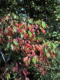 Rhus copallinum (Winged sumac)