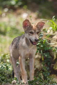 5 week old Mexican Wolf pup. (*I love the floppy ears_LL)