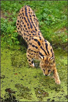 The serval (Leptailurus serval) is a medium-sized African wild cat, that is found throughout sub-Saharan Africa.