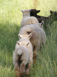 cute sheep bottoms in pasture Sheep Farm, Sheep And Lamb, Country Women, Country Life, Country Living, Alpacas, Farm Animals, Cute Animals, Baa Baa Black Sheep