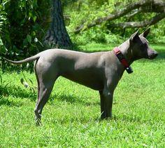 Gardner Thai Ridgeback dog (nwtrd) on Myspace Thai Ridgeback, Dog Photos, Dog Breeds, Pitbulls, Best Friends, Pets, Animals, Primitive, Awesome