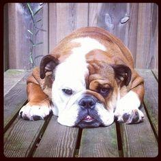 Love our english bulldog Willem.