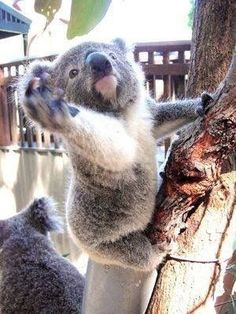 The koala, is Australia's national treasure and a rare and precious primitive arboreal in Australia. The English name Koala bear… Baby Koala, Baby Otters, Cute Little Animals, Cute Funny Animals, Funny Koala, Australian Animals, Tier Fotos, Love Pet, Pet Birds
