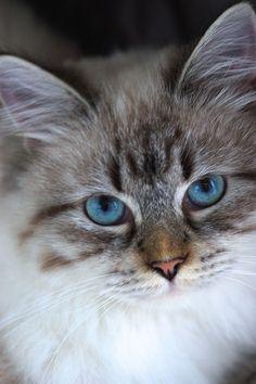 My beautiful Neva ,Siberische Neva Masquerade Siberian Forest Cat, Siberian Cat, I Love Cats, Cute Cats, Funny Cats, Crazy Cat Lady, Crazy Cats, Neva Masquarade, Magnificent Beasts