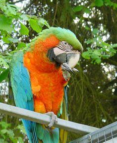 parrot photos macaw | Catalina Macaw Parrot Parrot Birds Wallpapers