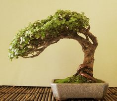 Practical Guide on How to Care for Your Jade Bonsai