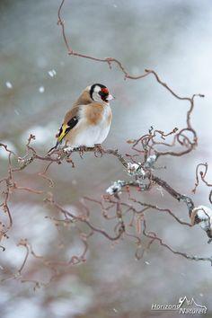 European Goldfinch under the snow