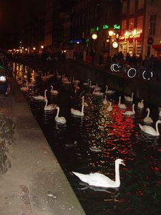In the middle of Red Light District, Amsterdam appears a bunch of beautiful white swans!