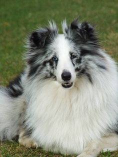 ~ Blue Merle Sheltie ~..I have seen one of these...very rare and beautiful!!