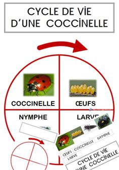 Le cycle de vie de la coccinelle  GS Math For Kids, Activities For Kids, Petite Section, French Immersion, Cycle 3, Hygiene, Montessori, Ms Gs, Life Cycles