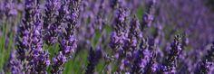 Lavendel, Lavendelvelden in de Provence, lavendelgeur in het zuiden van Frankrijk