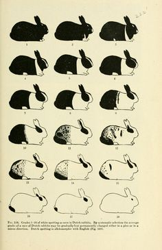 """Fig. 138. """"By systematic selection the average grade of a race of Dutch rabbits may be gradually but permanently changed…"""" Genetics and eugenics : a text-book for students of biology and a reference book for animal and plant breeders. 1921."""