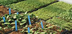 Succession Planting Intervals for Vegetables