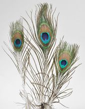 FEATHER PEACOCK EYE *100 PC PKG* 4-10""
