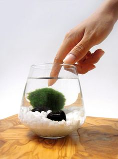 Marimo Pet, Marimo are little balls of moss and algae native to an isolated lake in Hokkaido, Japan.
