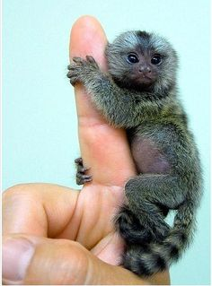 can i have a finger monkey too?!!