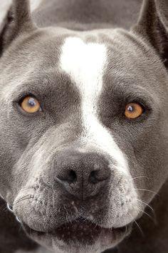 beautiful Pit Bulls, Amstaff Terrier, Pitbull Terrier, Terrier Mix, Blue Pitbull, Beautiful Dogs, Animals Beautiful, Rottweiler, Dog Cat