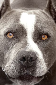 Pitbull Blue & White