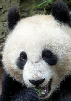 Giant Panda -  Xiao Liwu by PegiSue, via Flickr