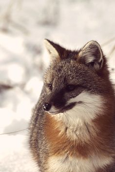 ☀Gray Fox by saganorth2000 on Flickr.