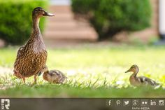 Duckly-Mother-and-Children   by RAPH - Rapheal Wright